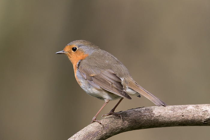 1st - Robin by Martin Patten