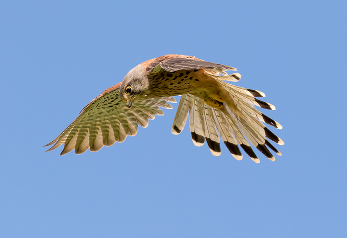 4th - Hovering Kestrel by Martin Patten
