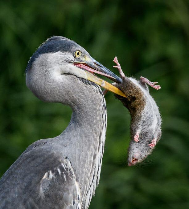 Advanced 1st-Grey Heron Brown Rat_Nigel Cox