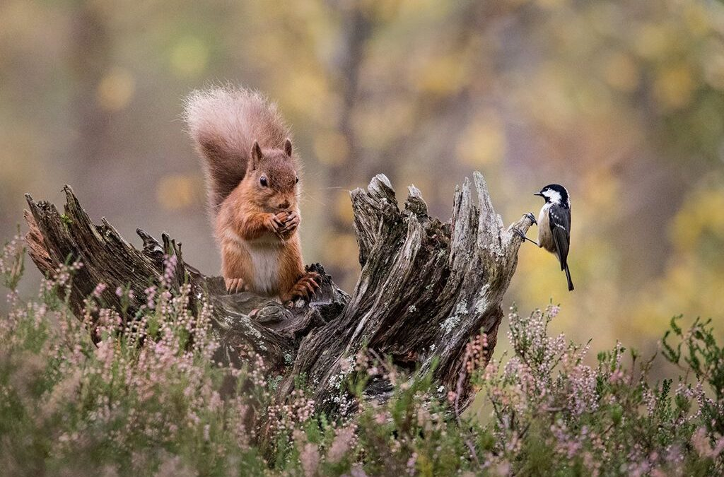 Advanced 2nd – Red Squirrel and Great Tit_Carrie Eva