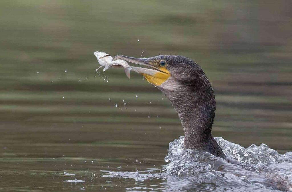 Advanced 3rd – Cormorant with Catch_Terri Adcock