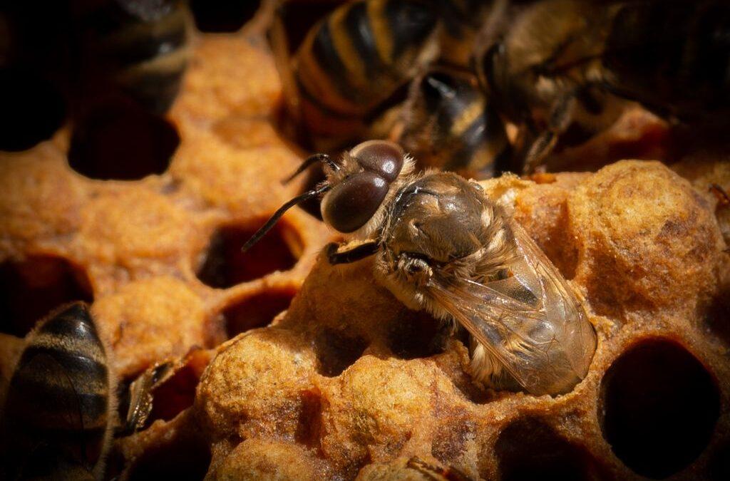 Advanced 3rd – Drone bee hatching_Sarah Walker