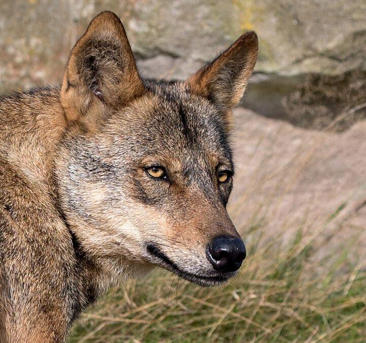 Advanced 3rd – Wolf_ Carrie Eva