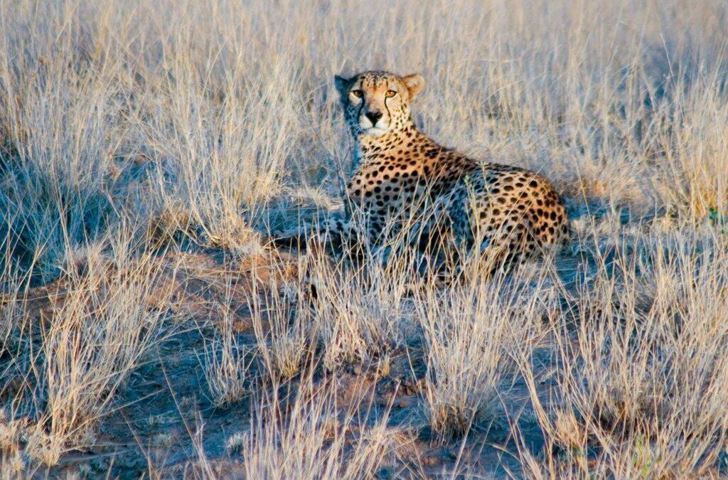 Cheetah at Dawn – Samburu, Kenya_John Gray
