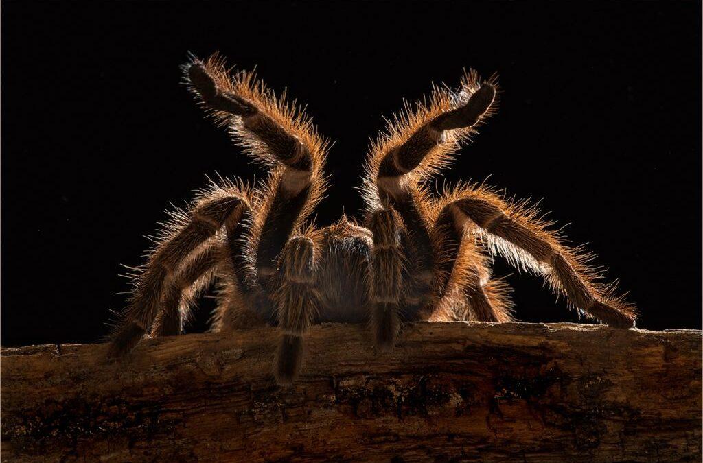 Intermediate 1st – Chillean Rose Tarantula_Rod Eva