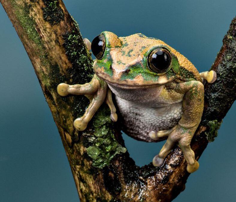 Intermediate 2nd – Peacock Tree Frog_Rod Eva