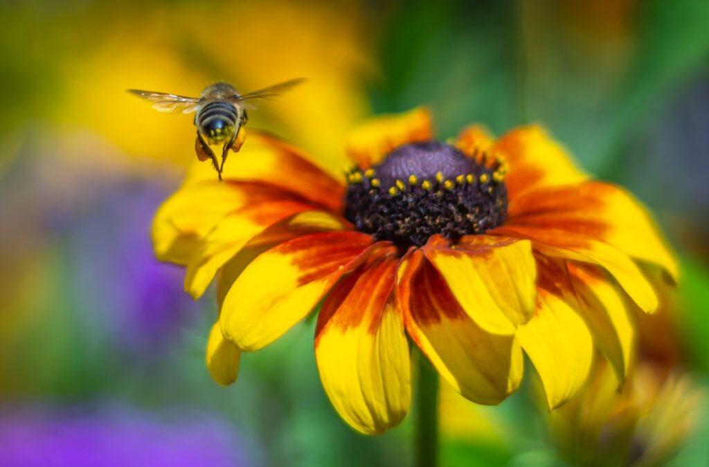 Prime Lens Challenge 3rd – Bum-Bee_Susan Gaszczak