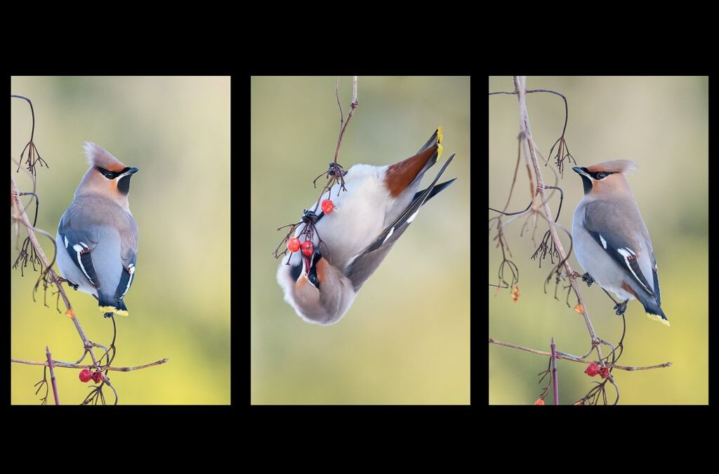Tryptic Projected 2nd – Waxwings_Nigel Cox