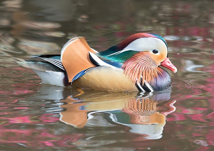 Peoples choice - Mandarin Duck by Martin Patten