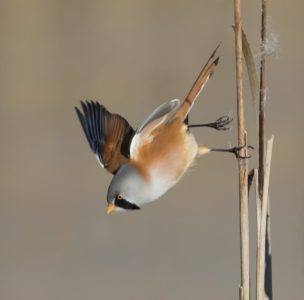 Bearded Reedling Taking Off by Terri Adcock