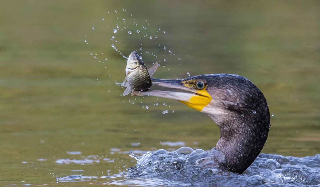 Advanced 1st – Cormorant with Fish_Terri Adcock