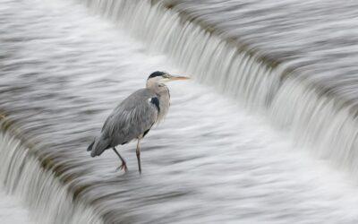 Advanced 1st – Heron on a Weir_Nigel Cox