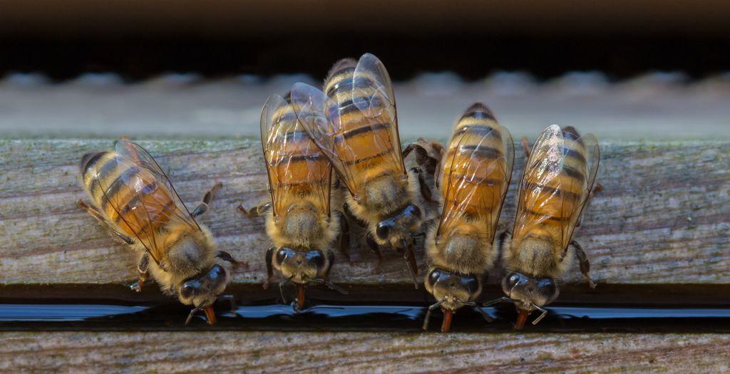 Advanced 1st-Nurse Bees Drinking _ Sarah Walker
