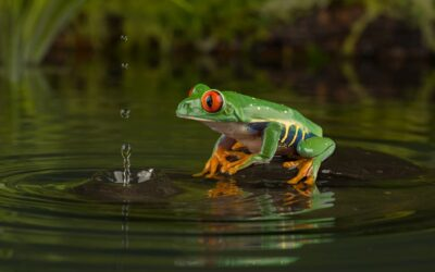 Advanced 1st-Red Eyed Tree Frog_Carrie Eva
