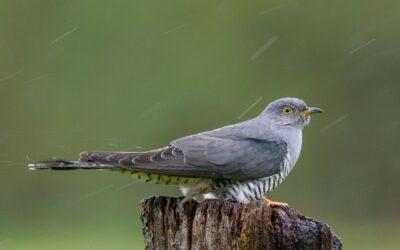 Advanced 2nd – Cuckoo in the Rain_Nigel Cox