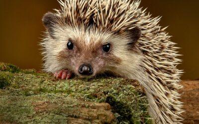 Advanced 3rd – African Pigmy Hedgehog_Rod Eva