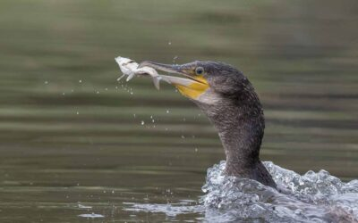 Advanced 3rd – Cormorant with Catch_Terri Adcock