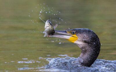 BEST WILDLIFE – Cormorant with Fish_Terri Adcock LRPS CPAGB