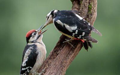 BEST WILDLIFE – Great Spotted woodpecker Feeding Juvenile_Terri Adcock