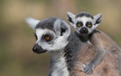 COMMENDED – Lemur and Baby_Carrie Eva