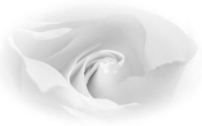 General 1st Place – Soft White Rose_Sam Blood