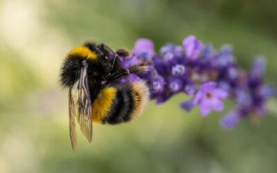 General 2nd – Bee On Lavender_Megan Chaplin