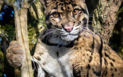 General 2nd – Clouded Leopard_Caroline Mockett