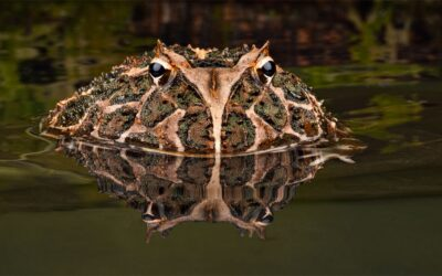 HIGHLY COMMENDED – Argentinian Horned Frog_Carrie Eva