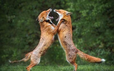 HIGHLY COMMENDED – Fighting Foxes_Martin Patten