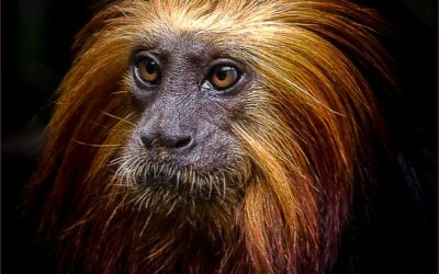 HIGHLY COMMENDED – Golden Headed Lion Tamarin_michelle cirkel