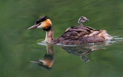 HIGHLY COMMENDED – Great Crested Grebe Family_Matin Patten