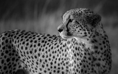 Intermediate 1st – Cheetah_Chris Smyth