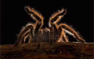 Intermediate 1st – Chillean Rose Tarantula_Rod Eva