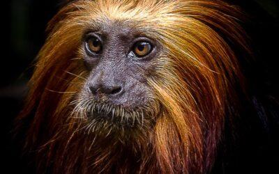 Intermediate 1st – Golden Headed Lion Tamarin_michelle cirkel