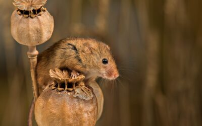 Intermediate 1st HARVEST MOUSE SENTRY_Rod Eva