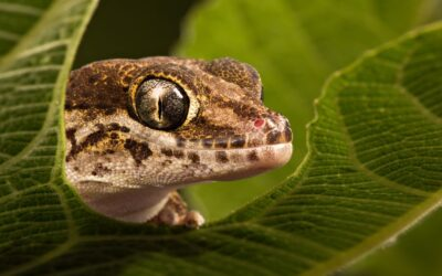 Intermediate 1st – MADAGASCAN GROUND GECKO_Rod Eva