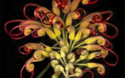 Intermediate – 1st Place – Red Orchid_Susan Gaszczak