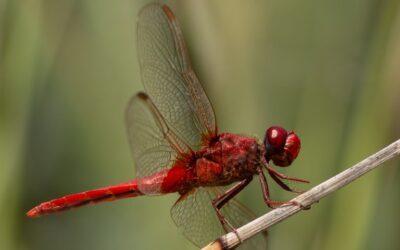 Intermediate 1st_Sympetrum Fonscolombii Dragonfly Steve Meekins