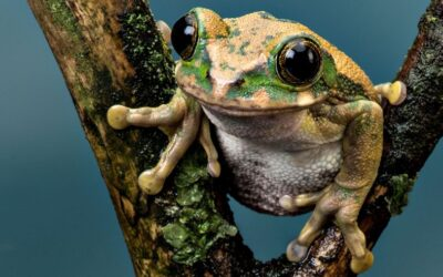 Intermediate 2nd – Peacock Tree Frog_Rod Eva