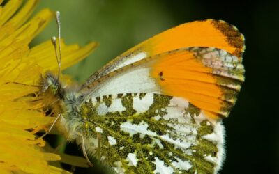 Intermediate – 2nd Place – Orange Tipped Butterfly_Simon Peters