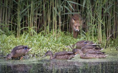 Intermediate 2nd – Sitting Ducks_Michelle Cirkel
