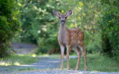 Intermediate 2nd – Young mule deer_Megan Chaplin