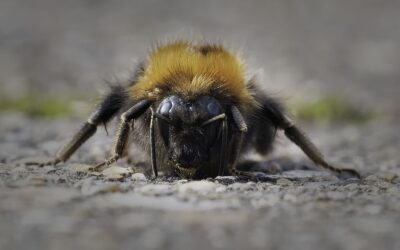 Intermediate 3rd – Bearded Bee_Don Bennett