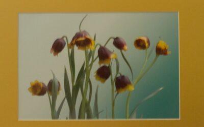 Intermediate 3rd – Fritillaria michailovskyi_J Nutkins