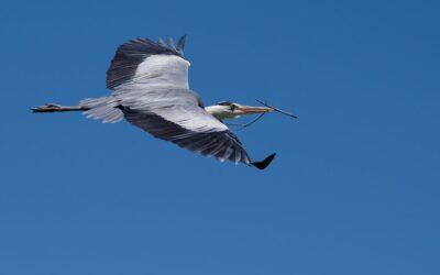 Intermediate 3rd – Heron Flying to Nest_Rod Eva