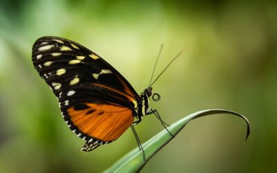 Intermediate 3rd – Red Lacewing_Simon Peters