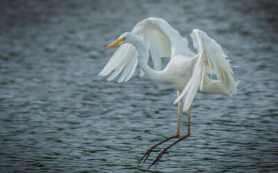 Intermediate 3rd – The Egret is Landing_Simon Peters