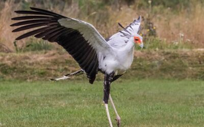 Primary 1st – Secretary Bird_Bob Long