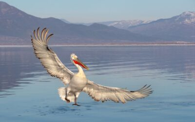 THIRD PLACE – Pelican Taking Off_Martin Patten