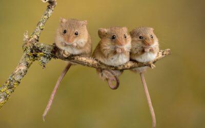 THIRD PLACE – Three Harvest Mice_Carrie Eva